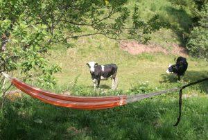 Kühe schauen auf die Hängematte am früheren Seilerhansenhof