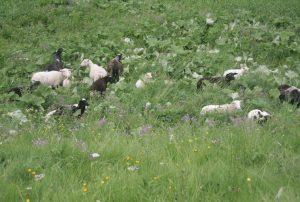 Schafe weiden in der Nähe vom Seilerhansenhof