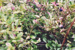 Heidelbeeren im Frühherbst