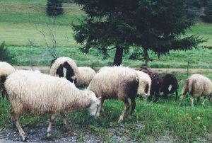 Schafe auf der Strasse Seilerhansenhof