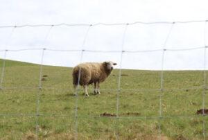 Schafe rundum