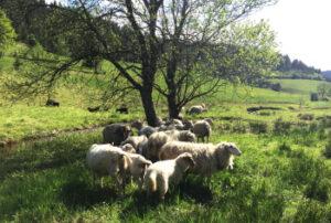 Schafe in der Nachbarschaft