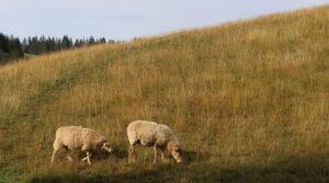 Schafe Schwarzwald Ferienhaus am früheren Seilerhansenhof